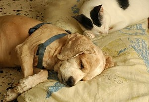 papilloma virus cani si attacca all uomo