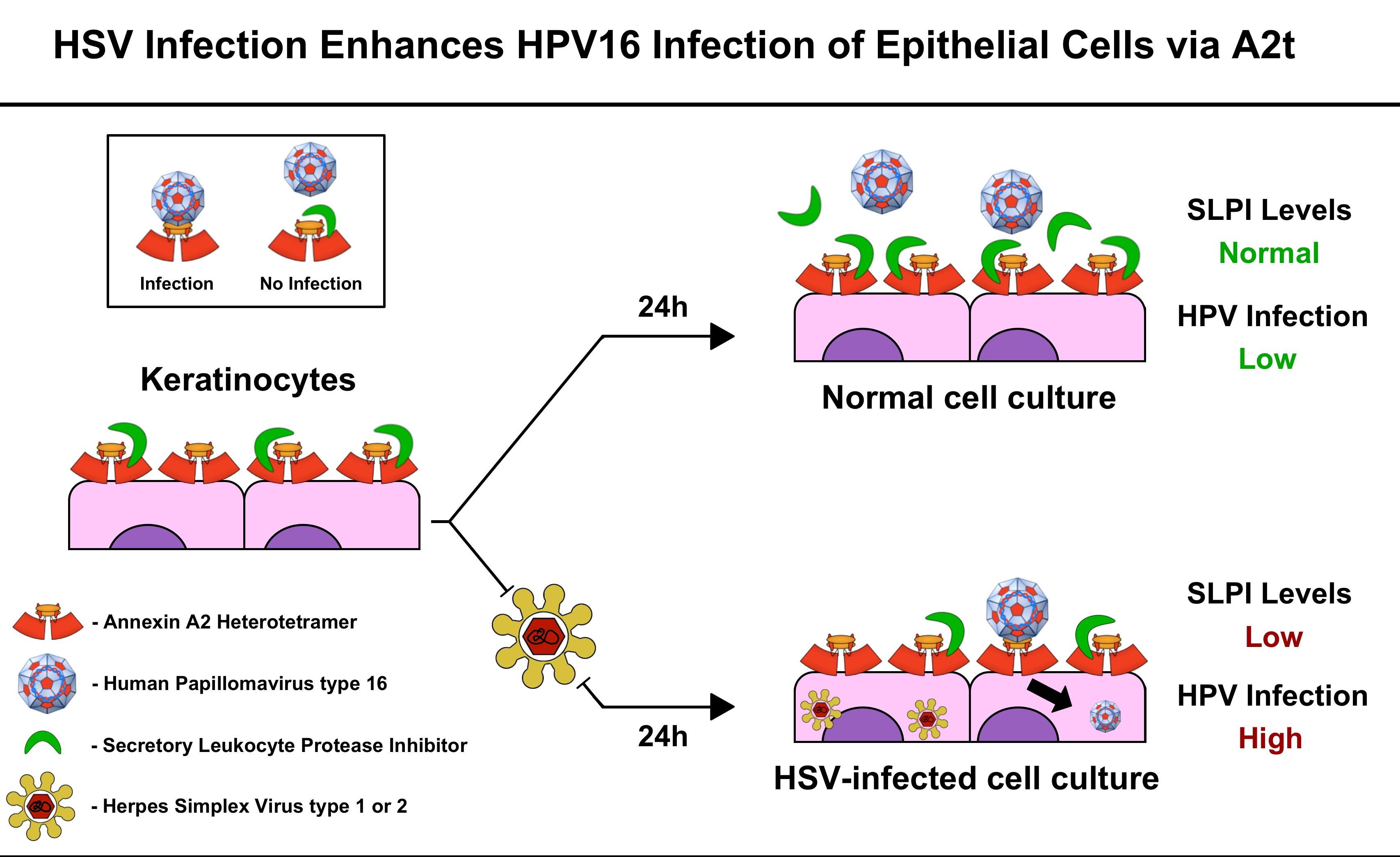 human papillomavirus infection vs herpes)