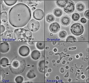 paraziti apicomplexa