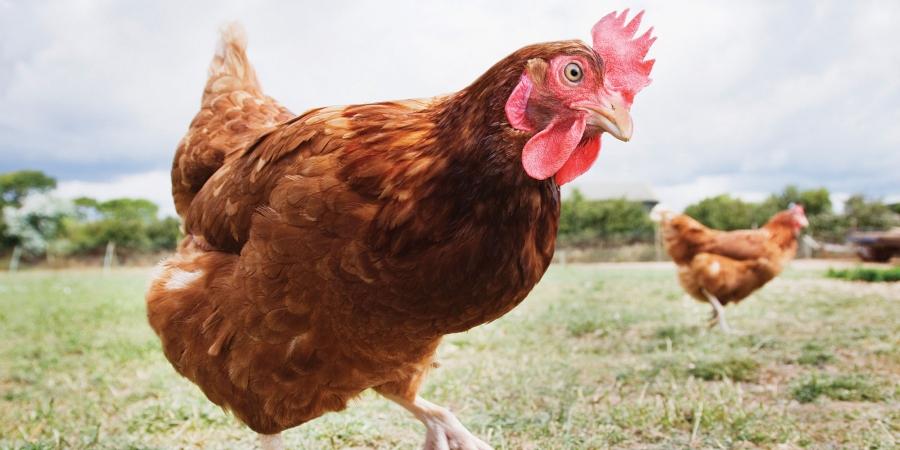 Cum scăpăm păsările de paraziții interni – Agroland