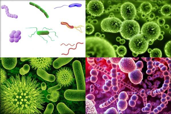 bacterii utile omului)