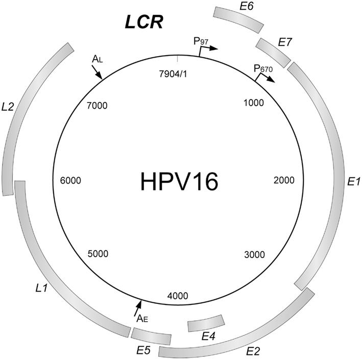 Hpv genome organization Hpv genome organization