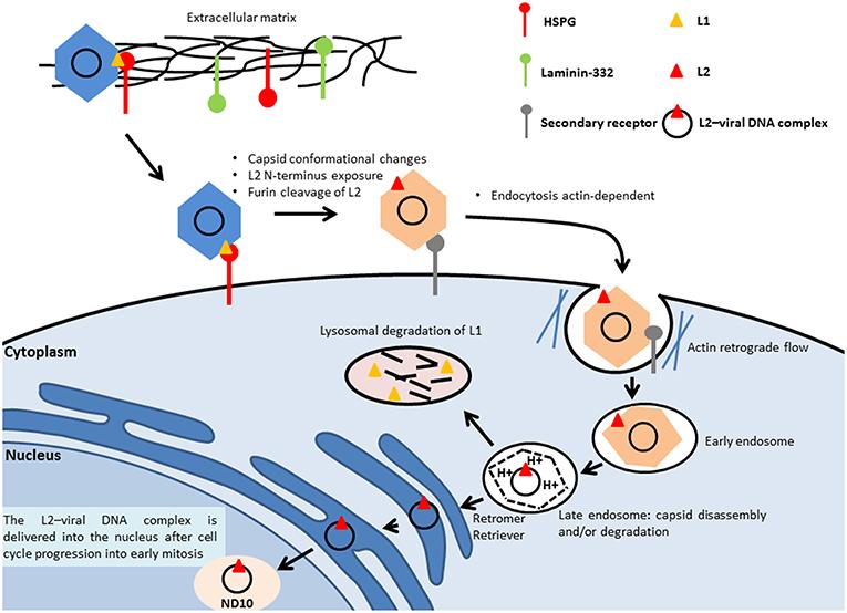 human papillomavirus reservoir)