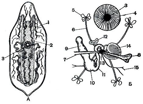 cum se mișcă viermele rotund)