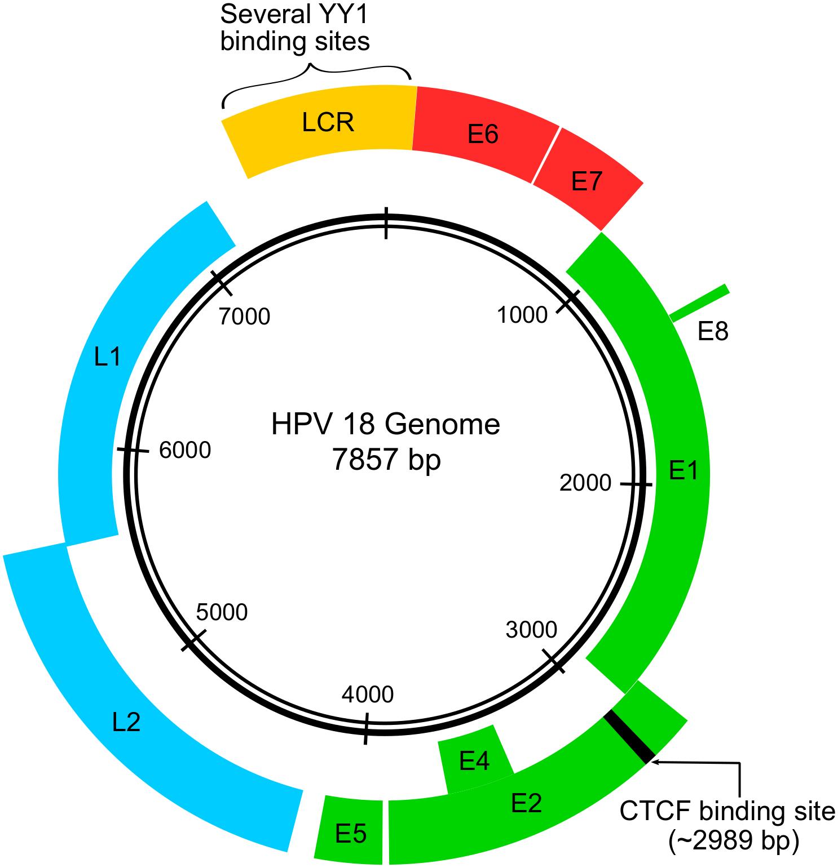 human papillomavirus viral genome