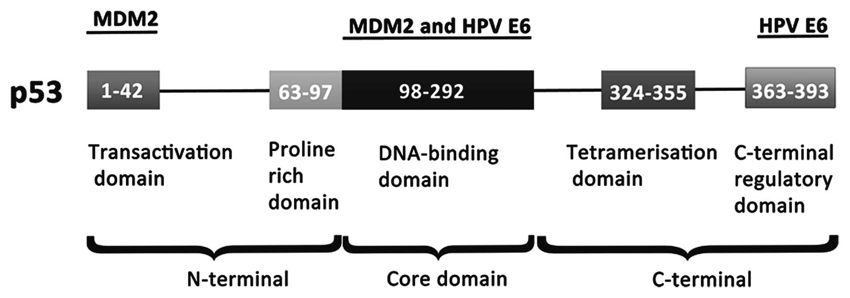 hpv oncogene positif cancer)