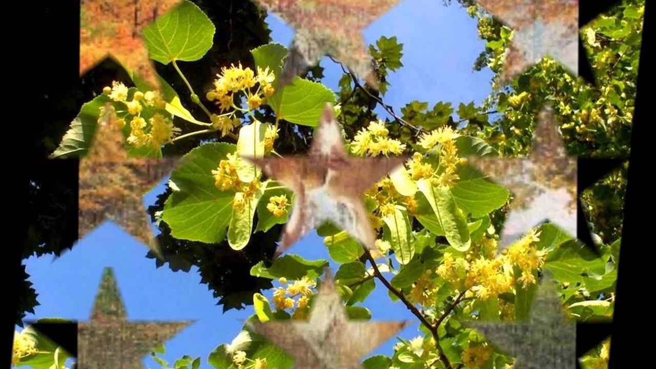 floarea de ten)