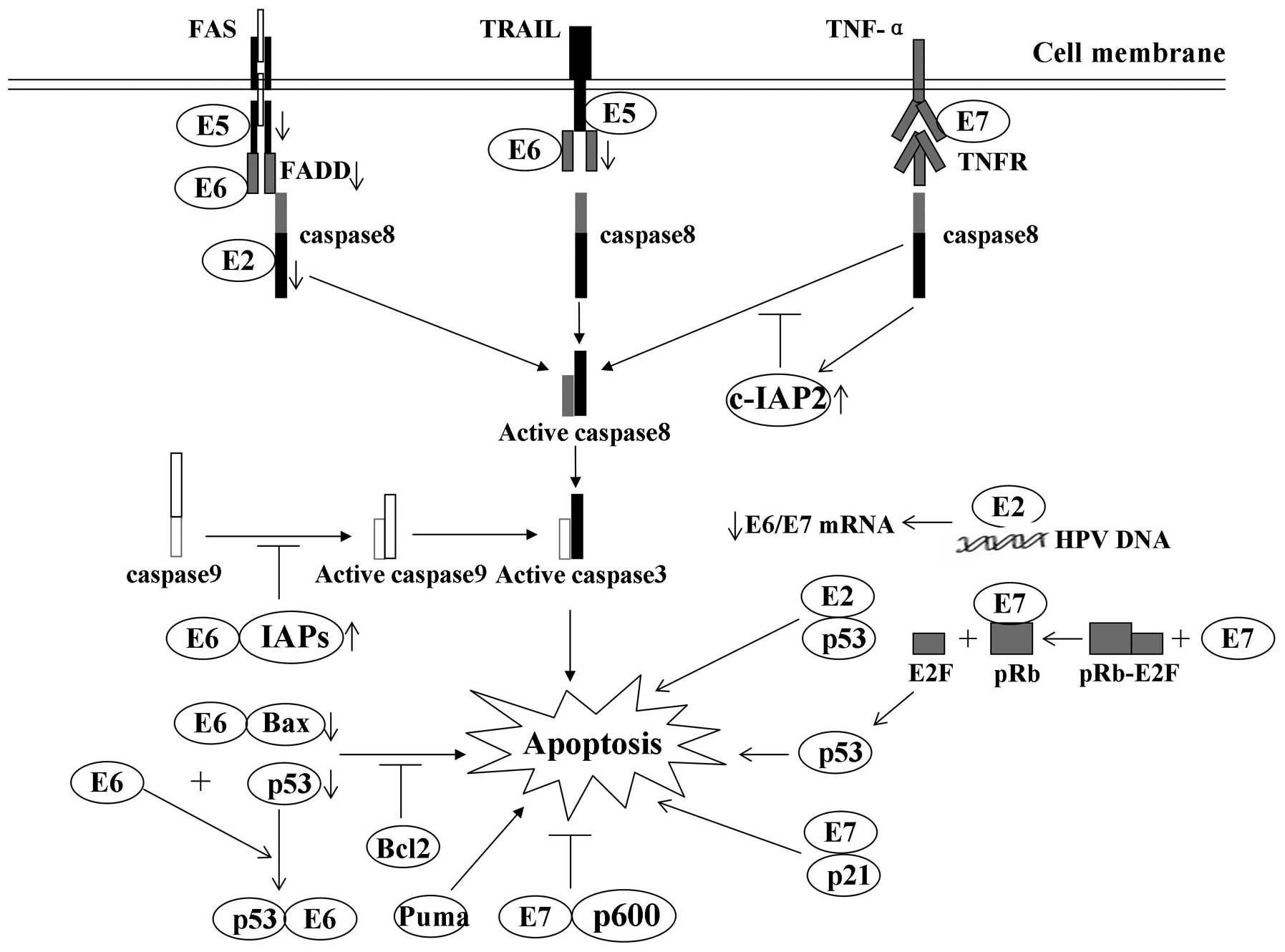 human papillomavirus oncoproteins