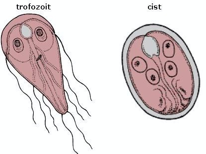tratamentul lamblia și viermilor la copii)