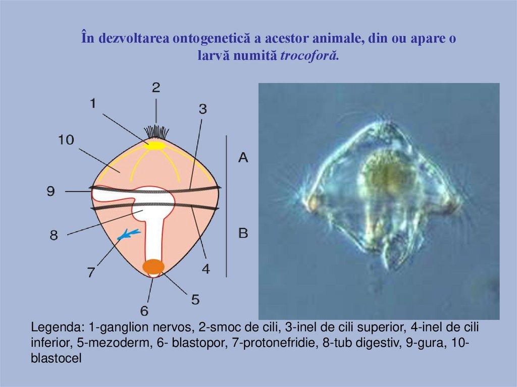 aschelminthes sistemul nervos)