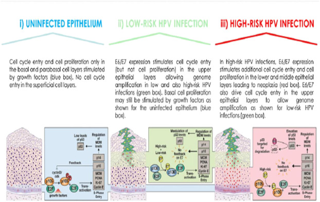 Hpv high risk amplified probe positive Hpv high risk a detected - Oxiuros test graham