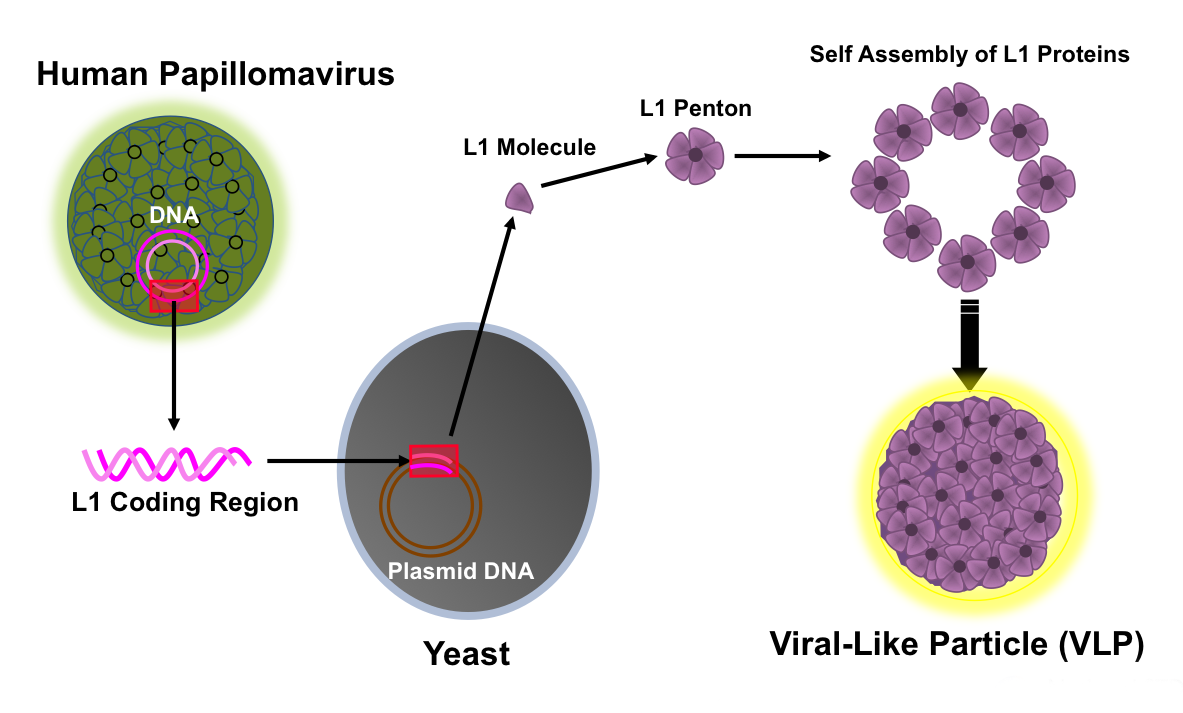 hpv virus structure recenzii privind tratamentul nematodelor