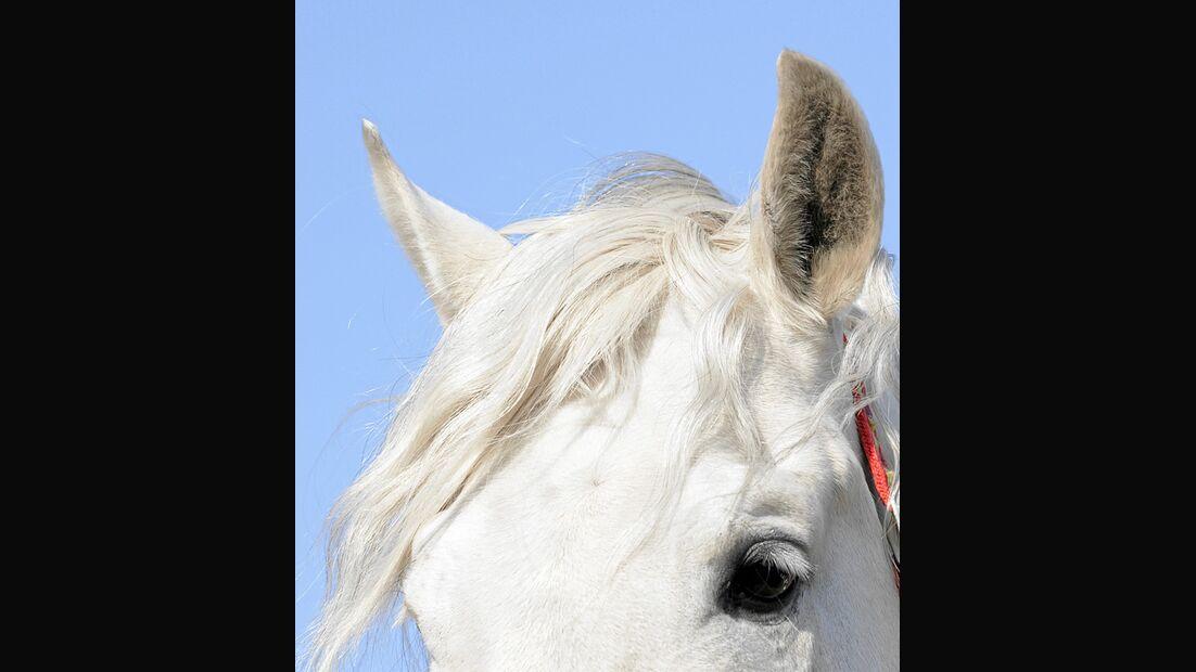 papillomavirus pferd ohr