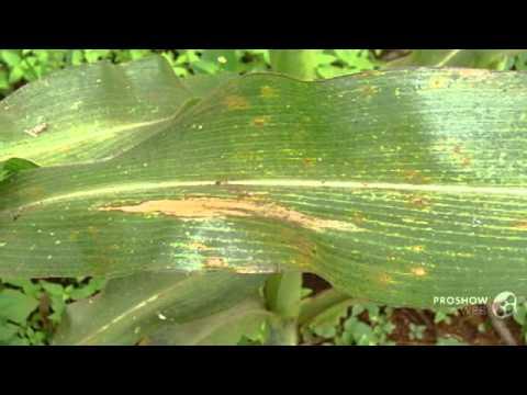helminthosporium echinulatum)