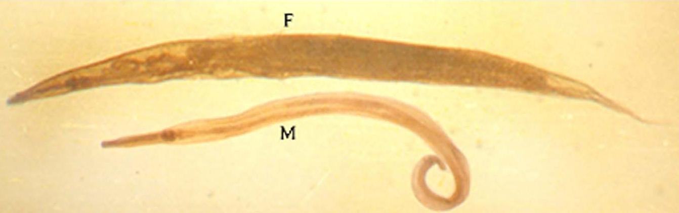 karakteristik enterobius vermicularis)