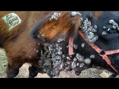 papilomatosis bovina zoonosis)