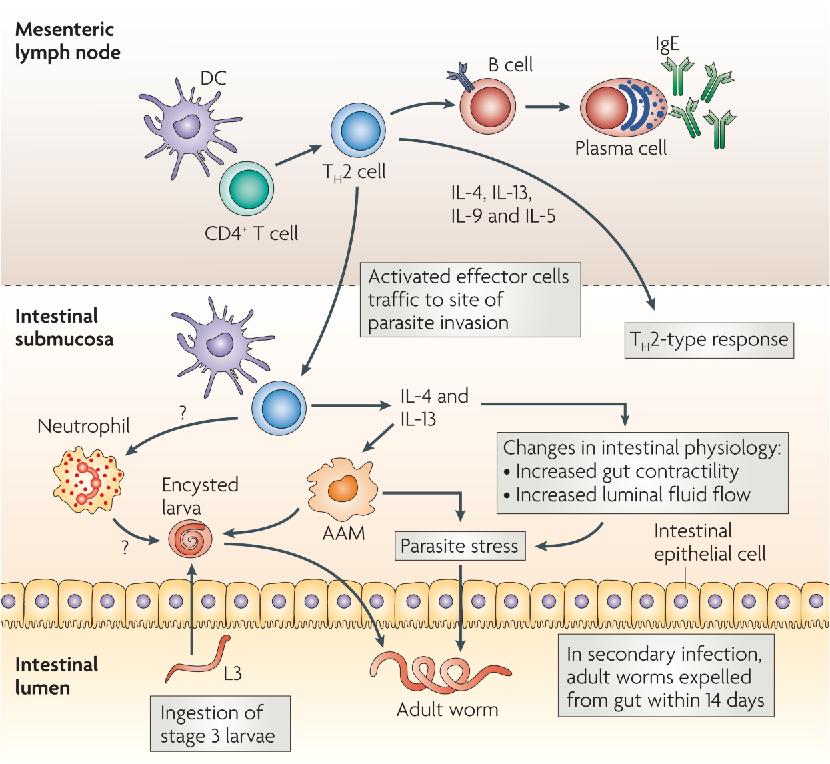 helminthic innate immunity)
