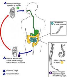 enterobius vermicularis transmissao)