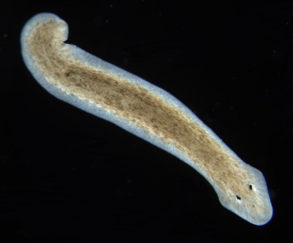 cum pleacă viermii rotunzi după tratament