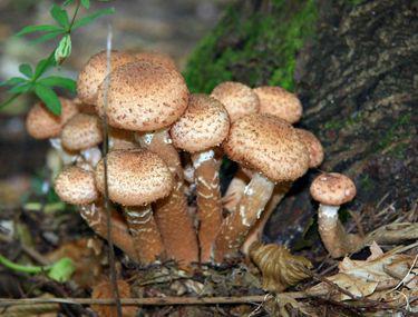 a visa ciuperci)