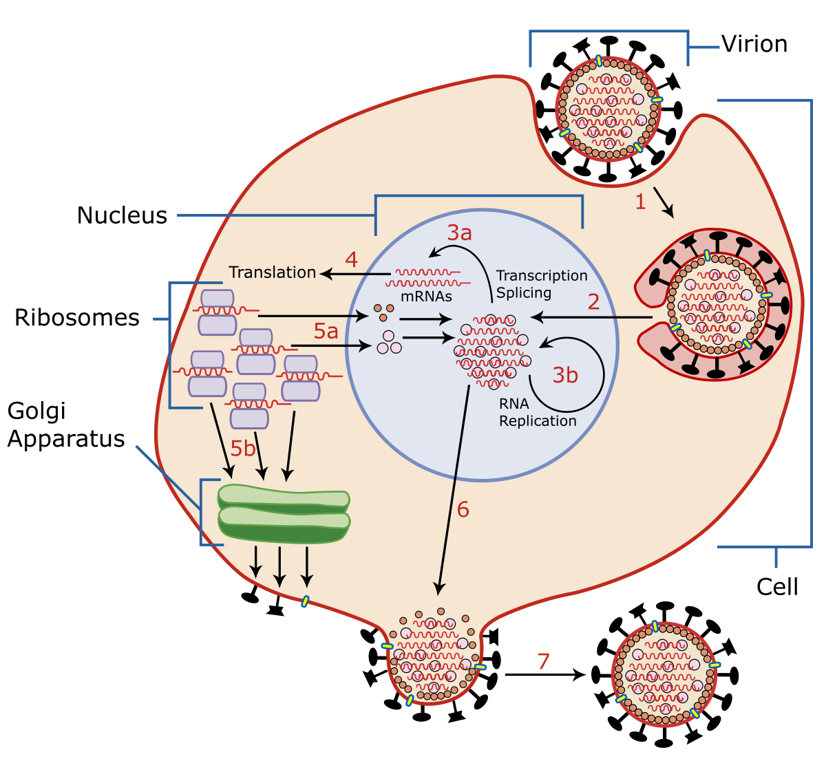 hpv virus dna or rna medicamente parazite eficiente pentru oameni