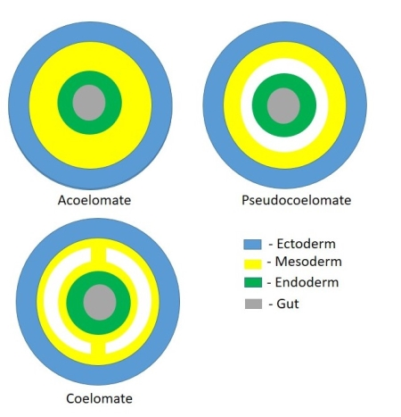 platyhelminthes coelomate de pseudocoelomate acoelomate)