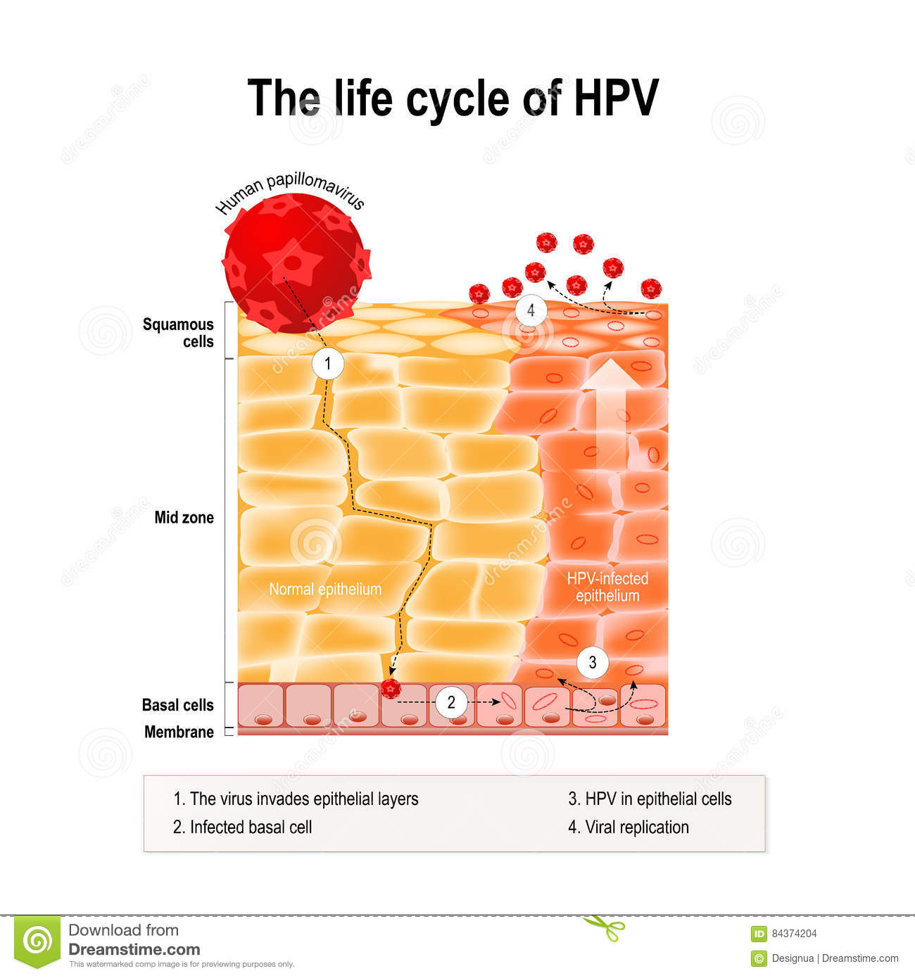 hpv life cycle diagram)