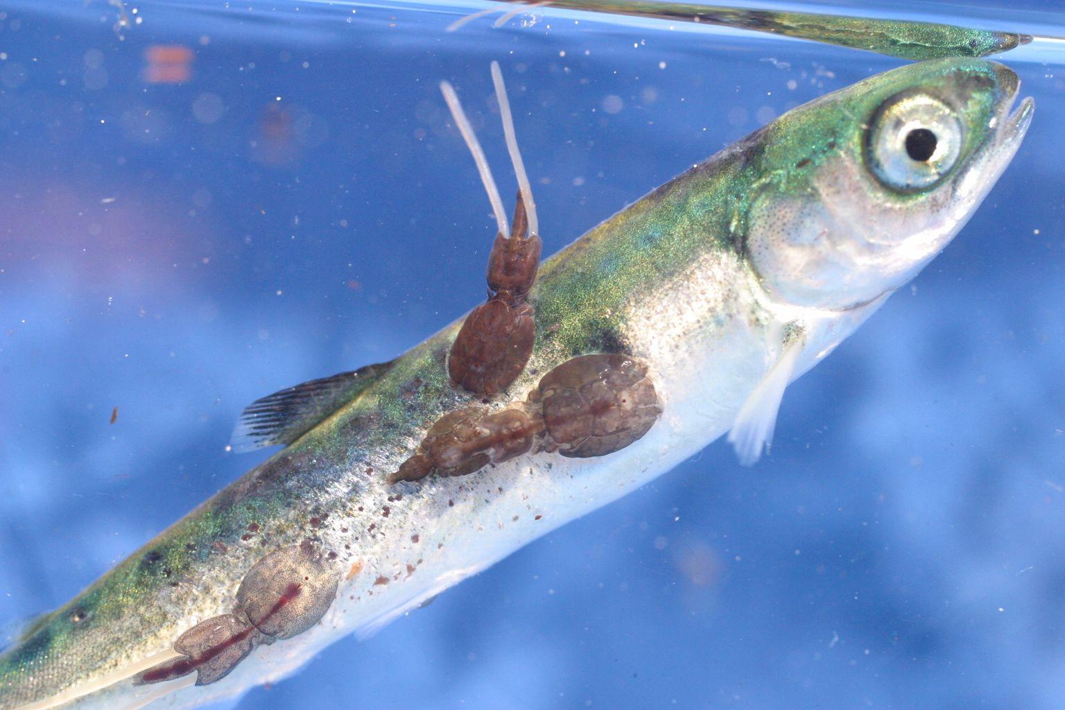 paraziti z ryb)