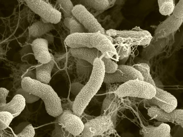 bacterii autotrofe
