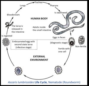 Ciclul de viață al giardiozei la om
