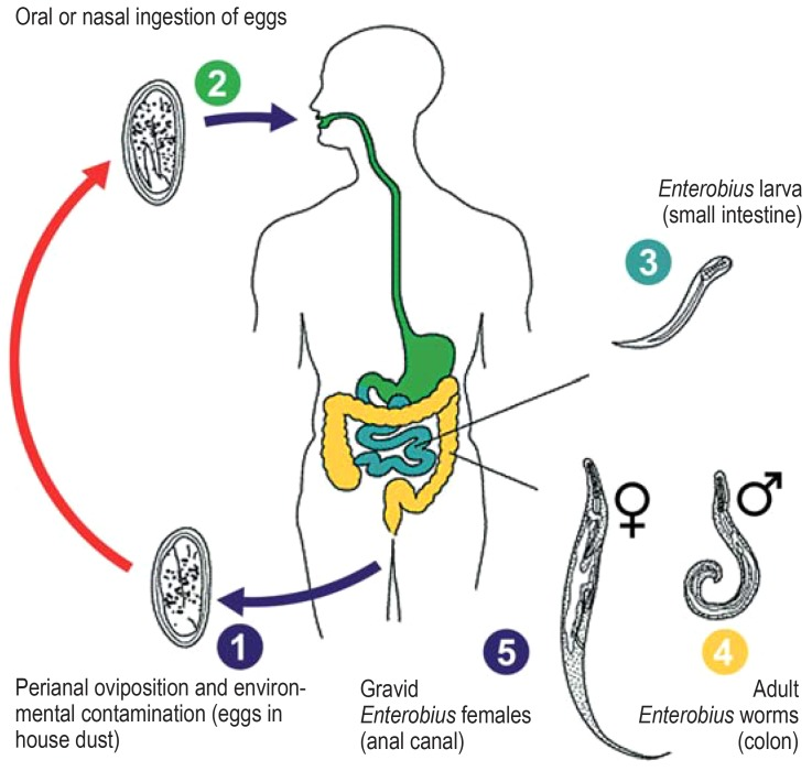 autoinfection in enterobiasis)