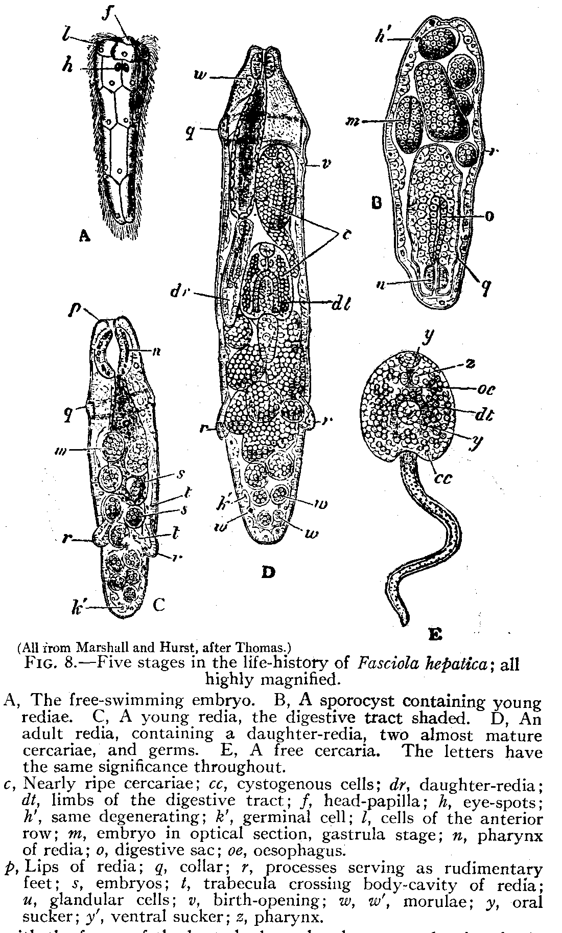 paraziti trematodici