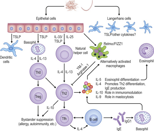 Helminth infection and host immune regulation,