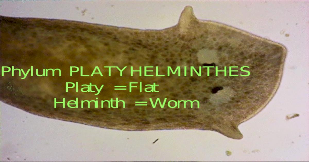 filum platyhelminthes doc
