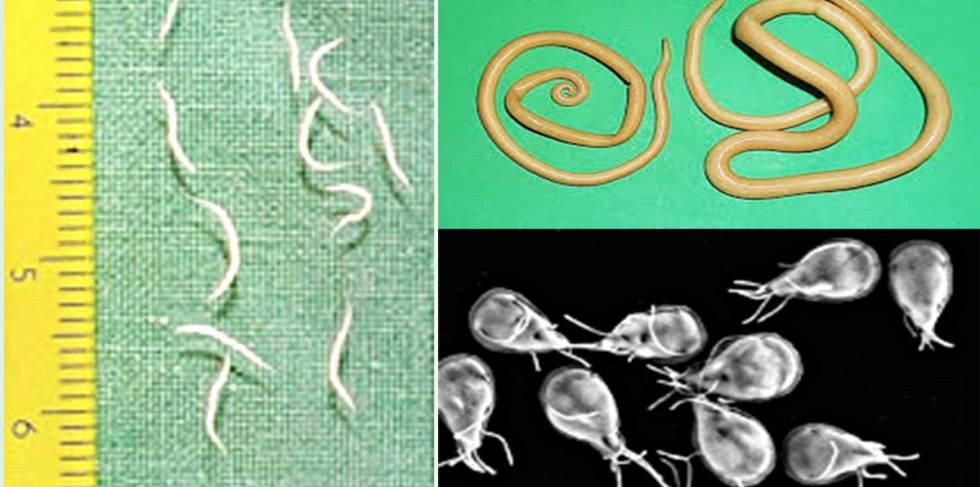 los parasitos oxiuros
