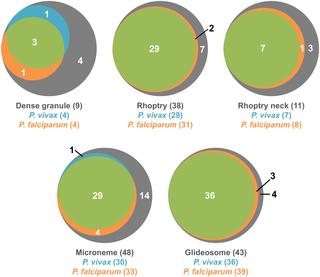 organe rhoptry ale paraziților apicomplexan