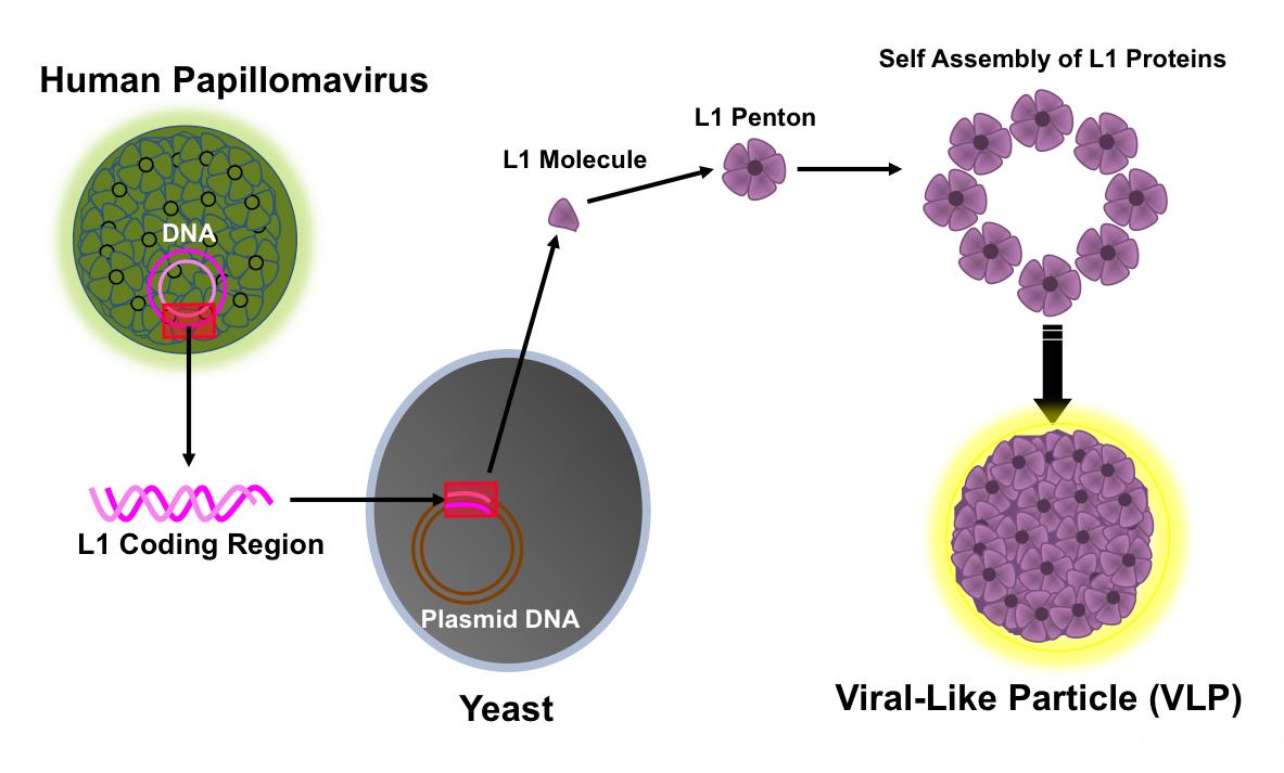 papilloma virus jc)