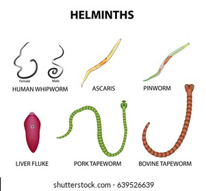 Parasitic helminth facts. HELMINTH - Definiția și sinonimele helminth în dicționarul Engleză