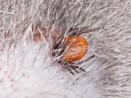 Vierme parazit - Wikipedia - Paraziti hraniti cu pamant