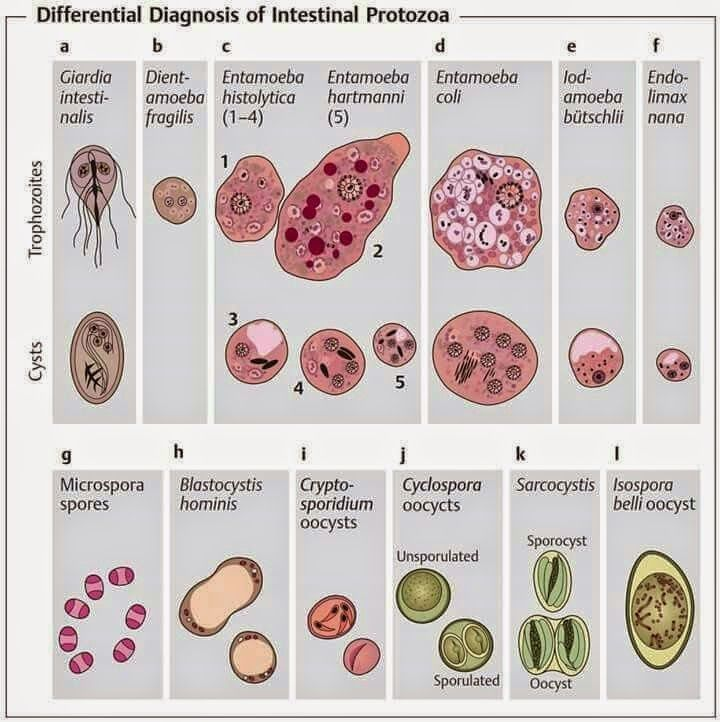 patogeneza giardiei duodenalis