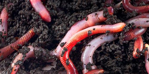 viermi de pământ în corpul uman