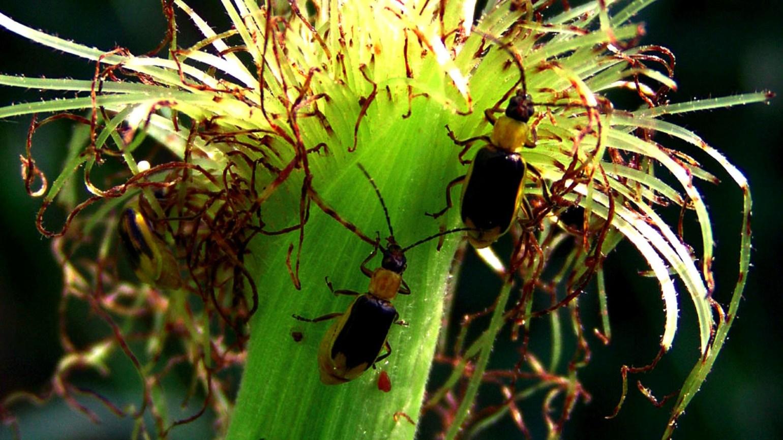 Giardia gâscă de gâscă Tratament cu paraziti cu metronidazol