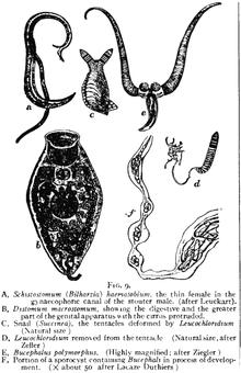 worms trematode