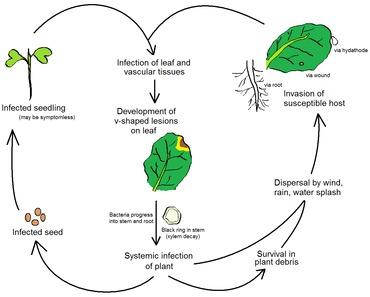 xanthomonas bacteria